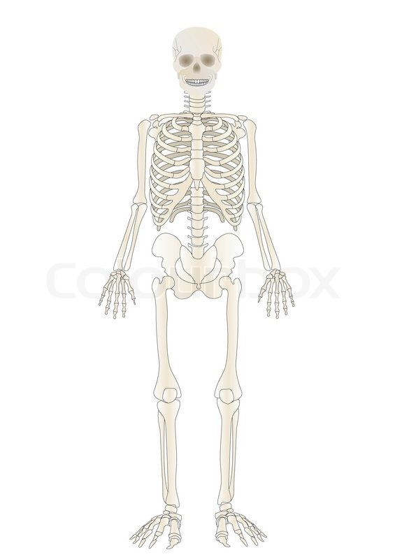 Vector The Skeleton Of The Person Stock Vector Colourbox