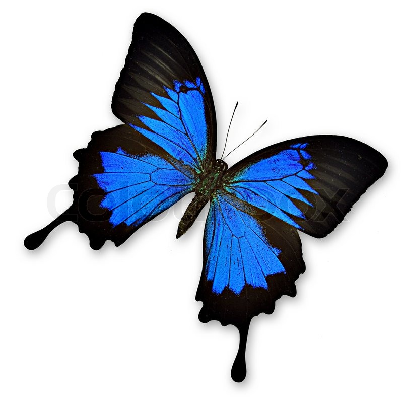 beautiful black and blue butterfly on stock photo