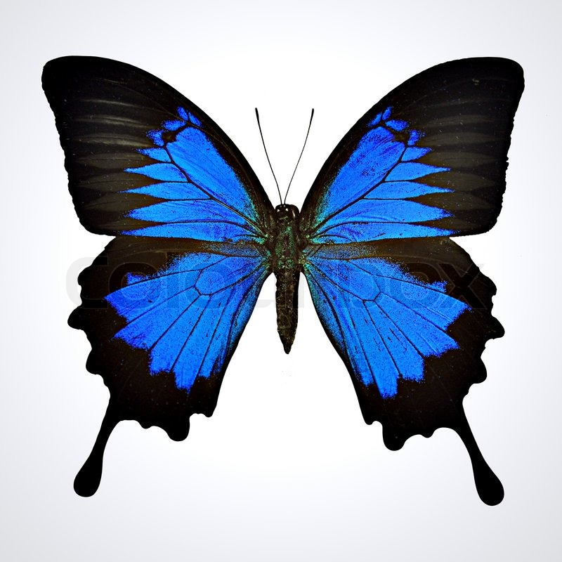 black and blue butterfly on light gray background papilio