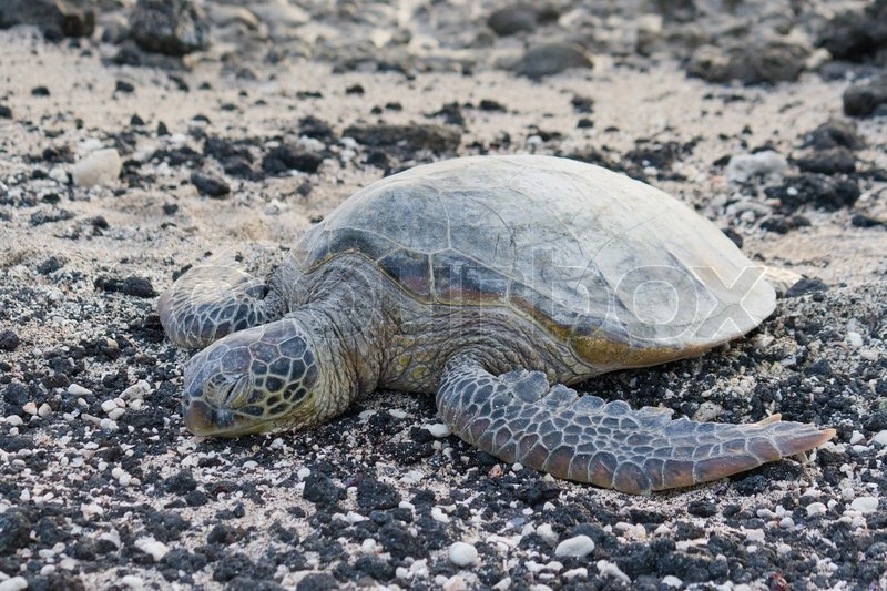 Sea turtle on the rocky, black and white beach, stock photo