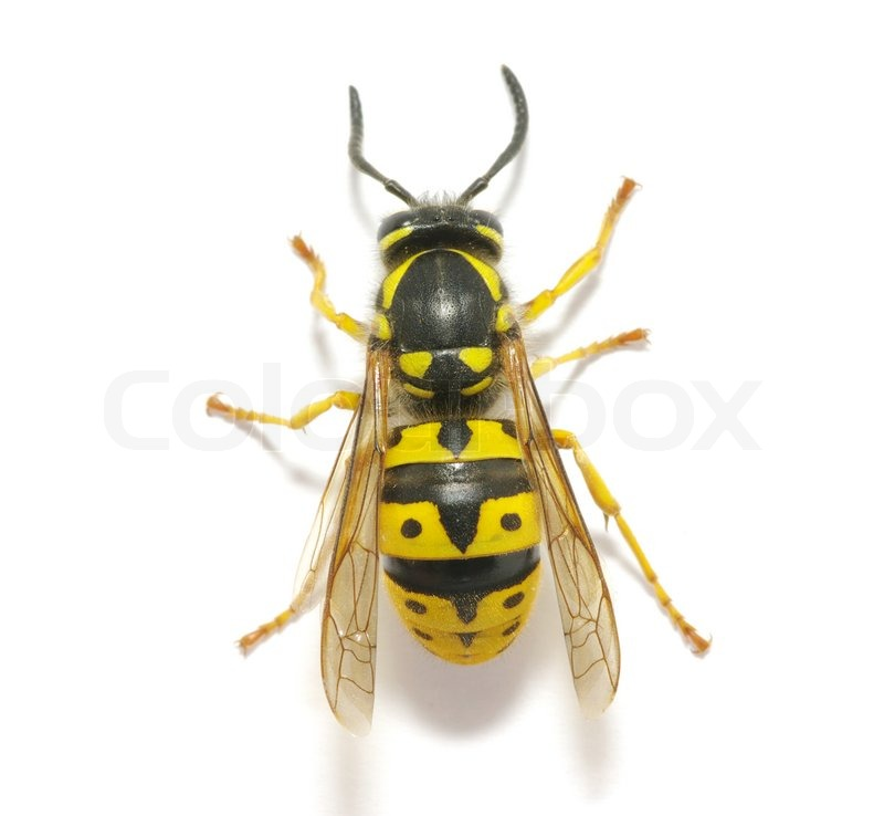 how to get a wasp stinger out