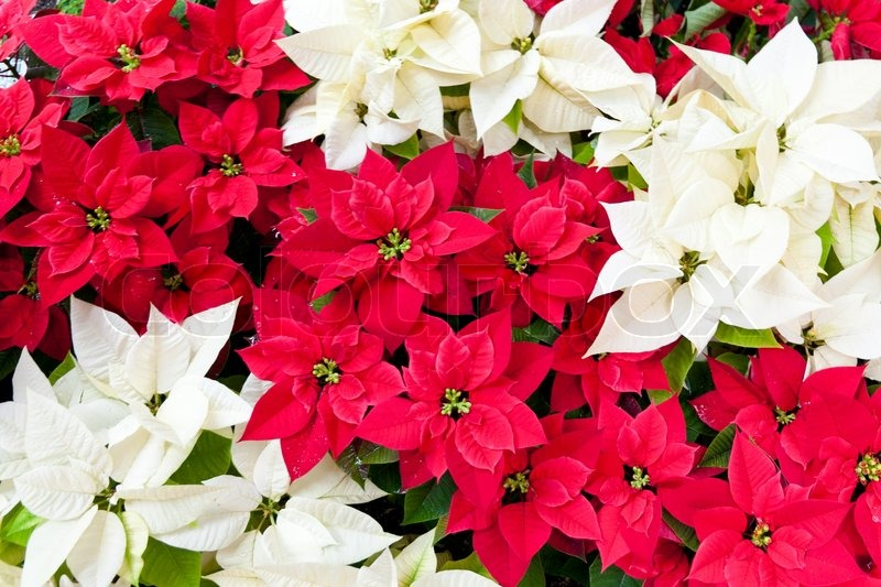 red flowers hd pics of christmas