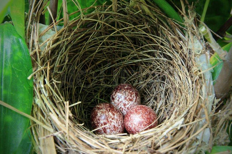 Ein Nest mit drei Vogeleier in den Ästen gefüllt | Stockfoto | Colourbox