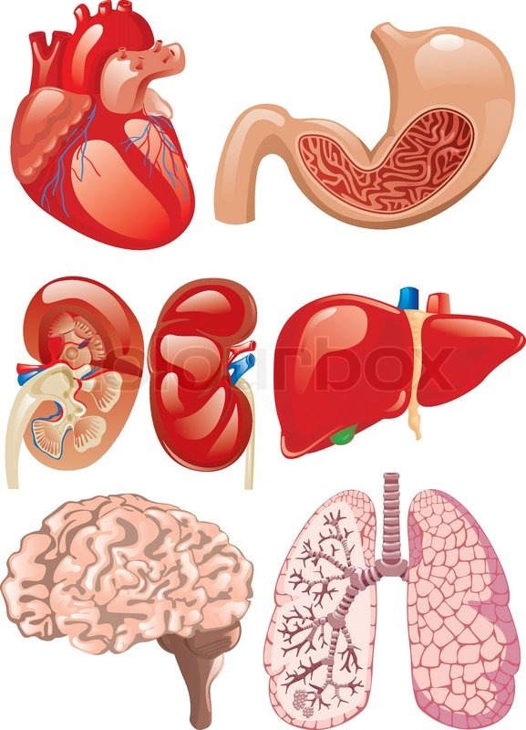 Internal organs set | Stock Vector | Colourbox