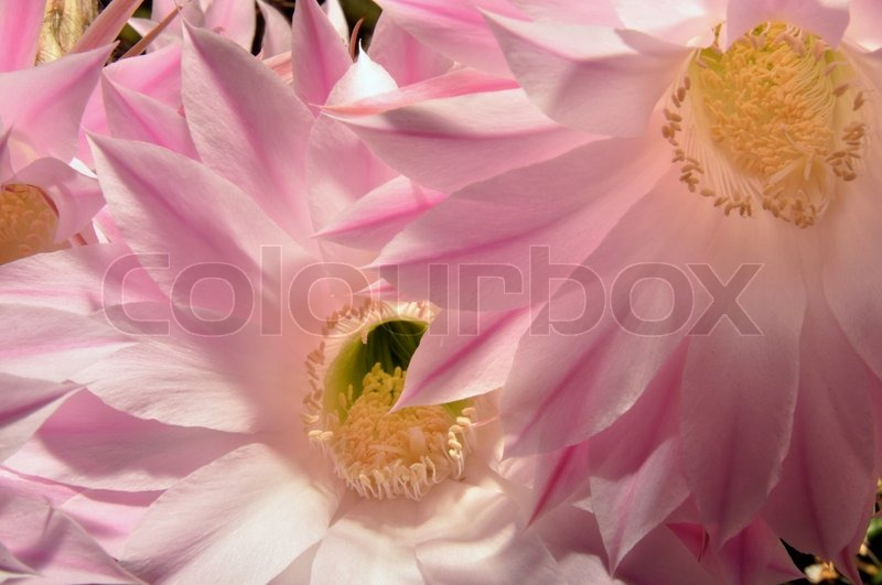 Succulent plant with open pink and white flowers, stock photo