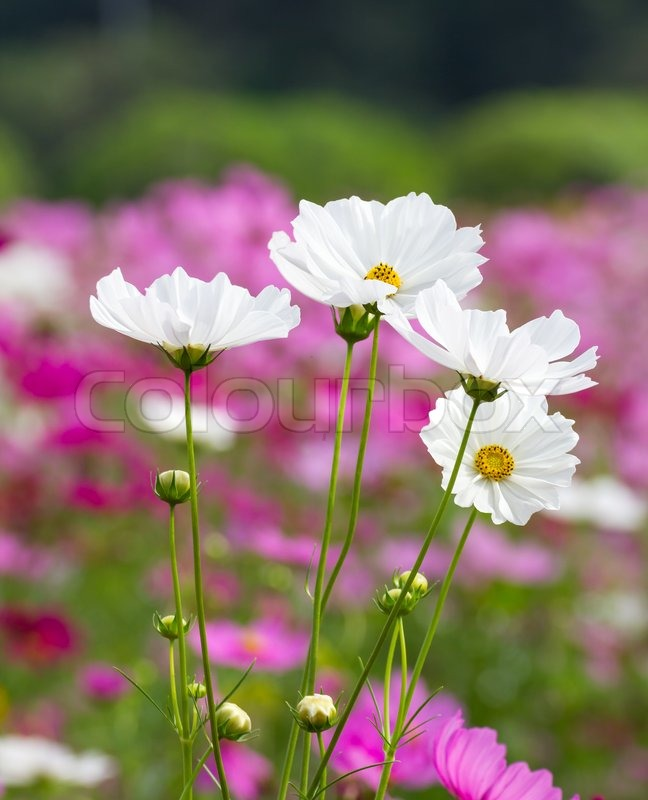 White cosmos flowers stock photo colourbox mightylinksfo