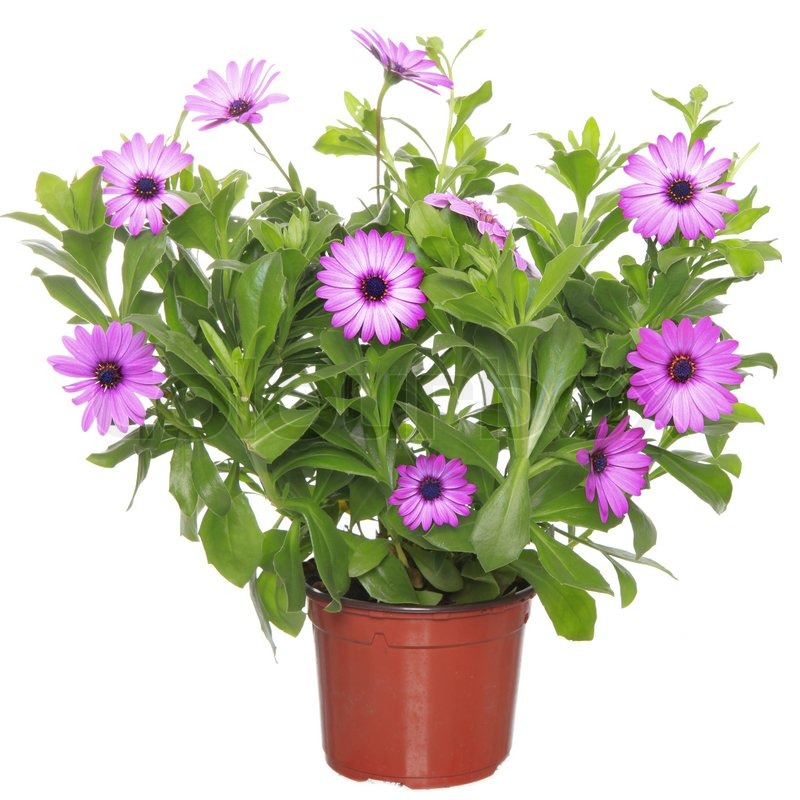 Pot with violet african daisy dimorphoteca osteospermum flower stock photo - Pot de fleur moderne ...