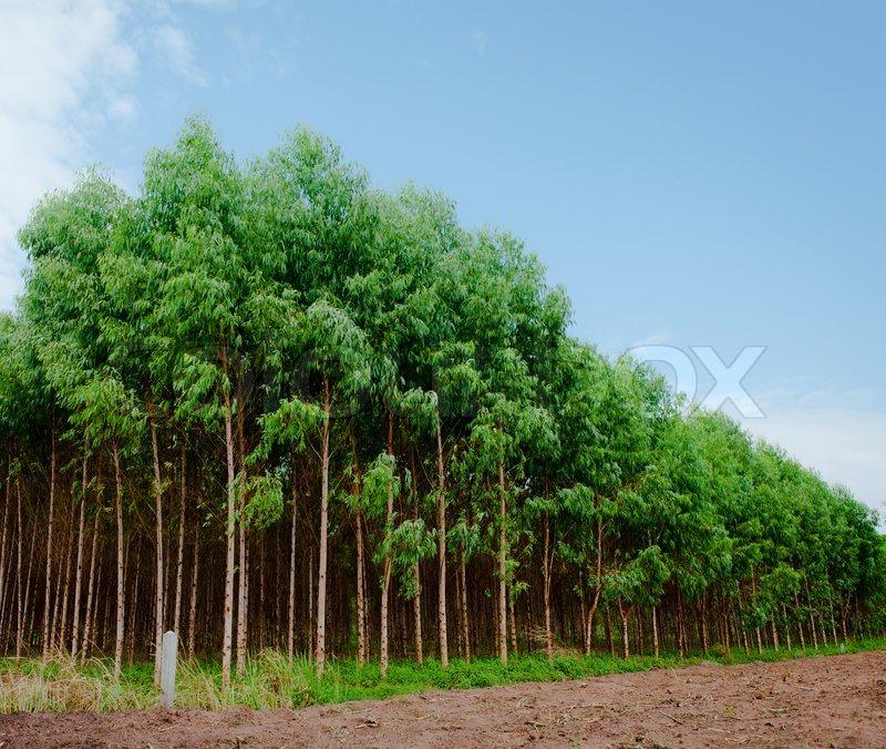 Green Plantation Of Eucalyptus Tree Stock Photo Colourbox
