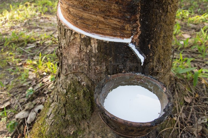 Milky Latex Extracted From Rubber Tree Hevea Brasiliensis