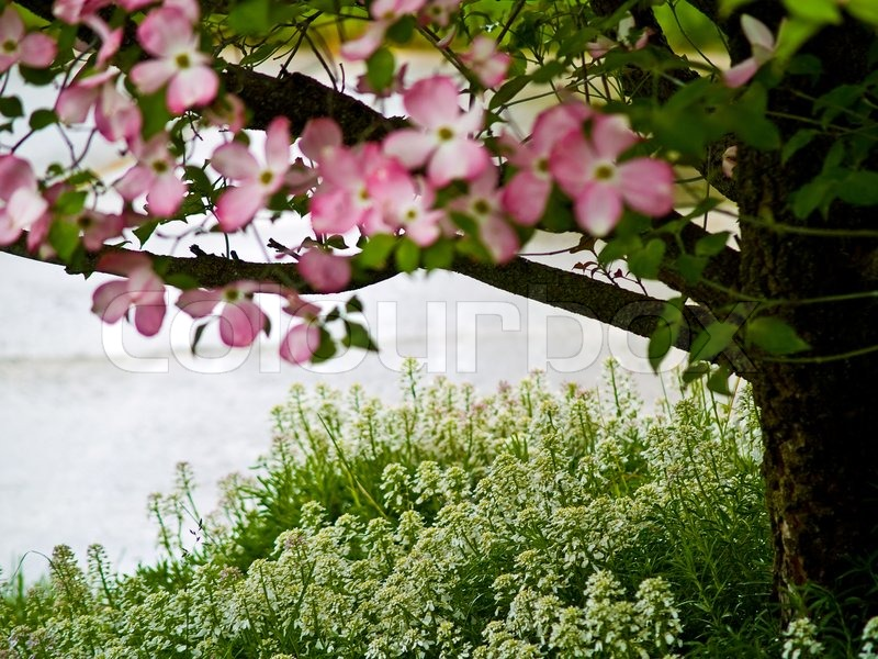 Pink dogwood tree blooms at the height of springtime stock photo pink dogwood tree blooms at the height of springtime stock photo colourbox mightylinksfo