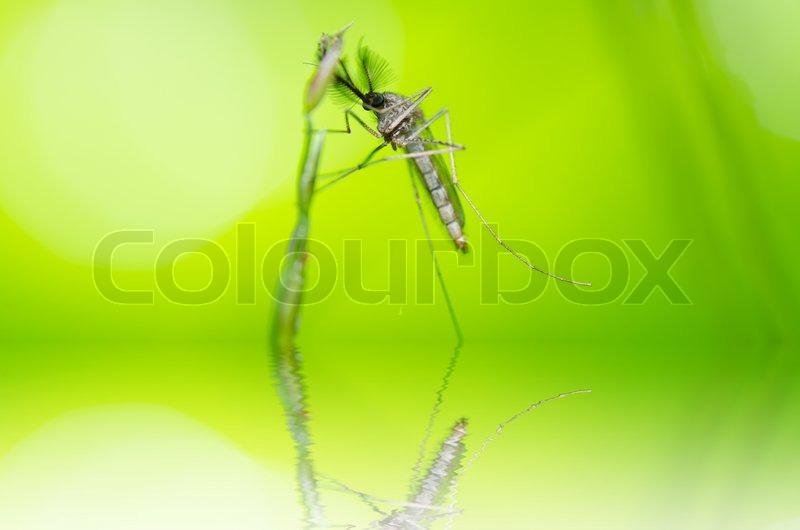 Mosquito in nature - Stock Photo - Colourbox - 웹