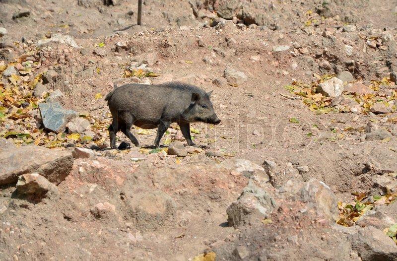 Wild boar in the wild nature, stock photo