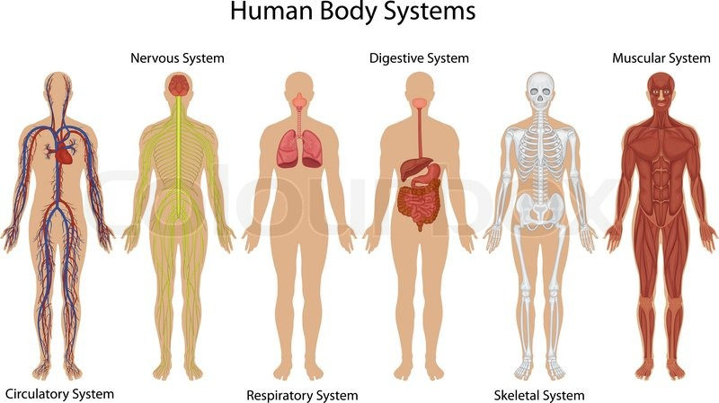 Human Body Anatomy Stock Vector Colourbox