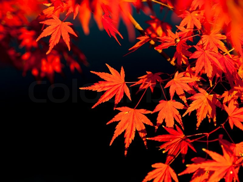 Red maple leaves in autumn, stock photo