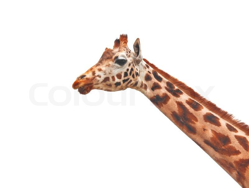 giraffe head white background - photo #29