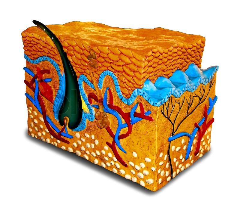 Die menschliche Haut Cross- Section -Modell   Stockfoto   Colourbox