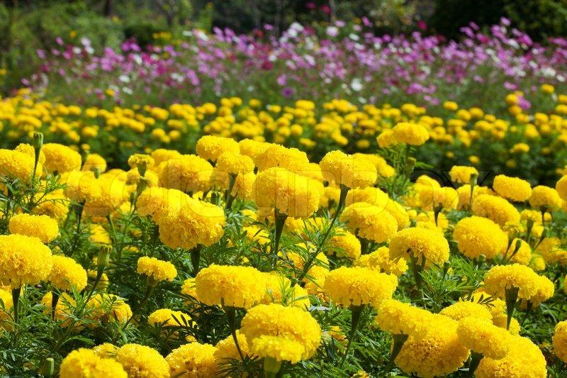Marigold flower stock photo colourbox marigold flower stock photo mightylinksfo
