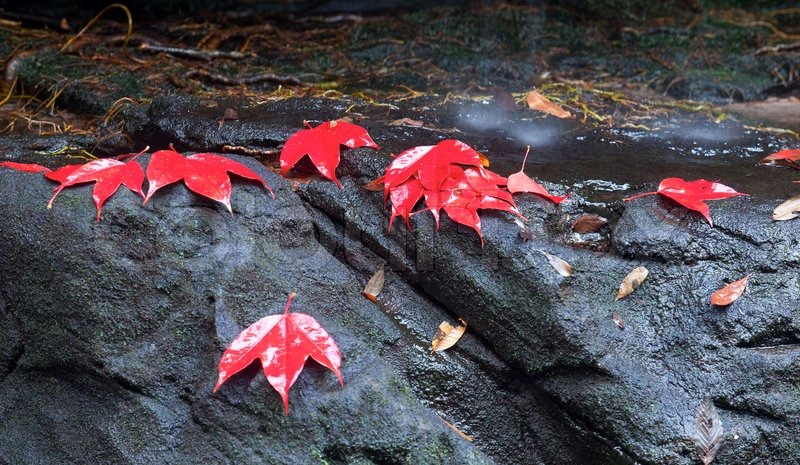 Red maple leaf during fall, stock photo