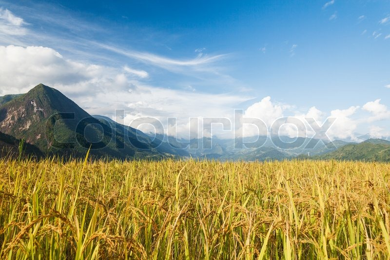 Stock image of 'Rice terraces in the mountains'
