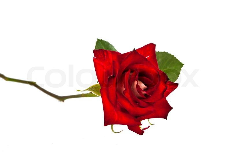 Beautiful Single Red Rose Flower Isolated Royalty Free: Single Beautiful Red Rose Isolated