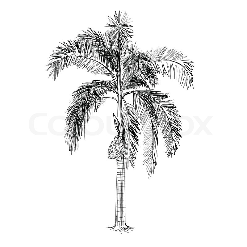 Palm tree vector - hand drawn | Stock Vector | Colourbox