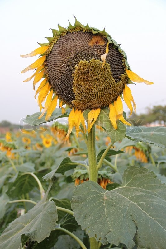Ripe sunflower and seeds at the end of life cycle, stock photo