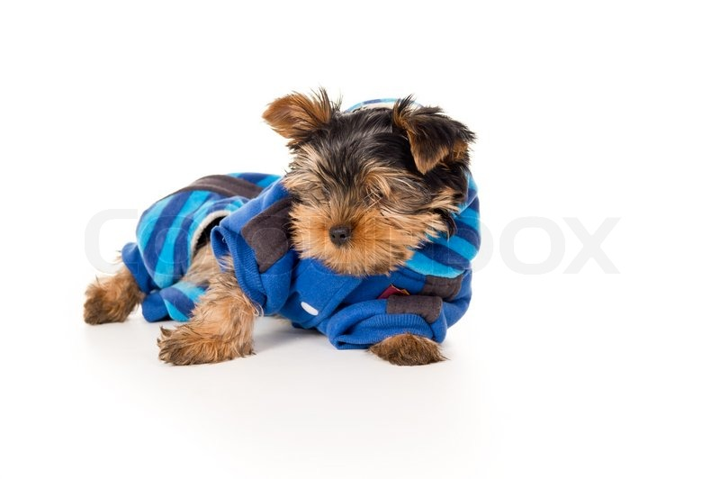 Yorkshire terrier in clothes | Stock Photo | Colourbox