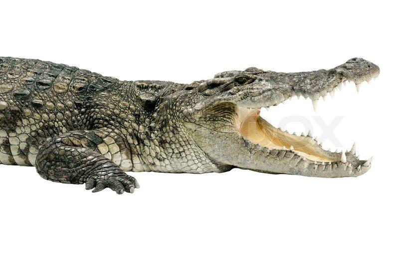 Die Tierwelt Krokodil auf weißem Hintergrund | Stockfoto ...