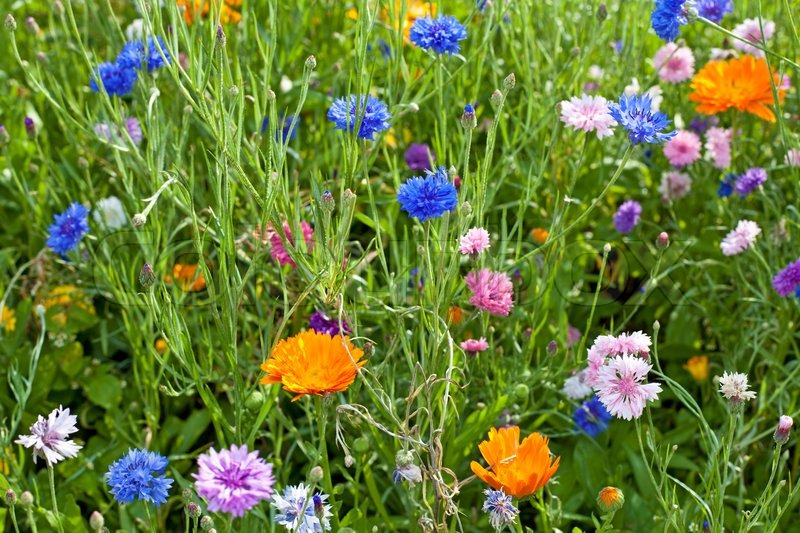 Stock image of 'Summer field flowers'