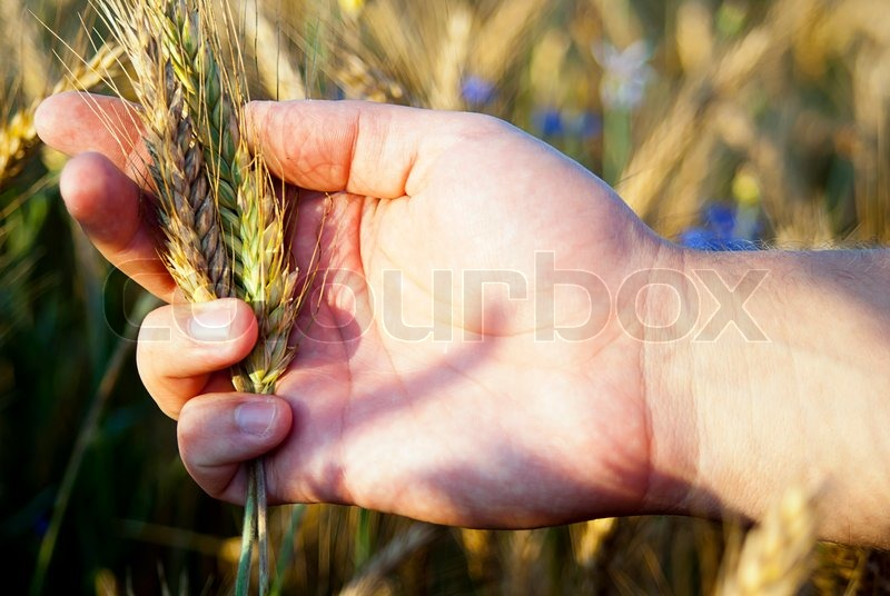 Hand checking rye seeds in nature, stock photo