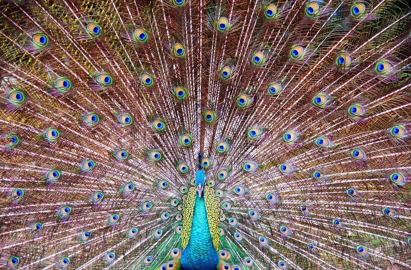 Stock image of 'Close-up portrait of beautiful peacock'