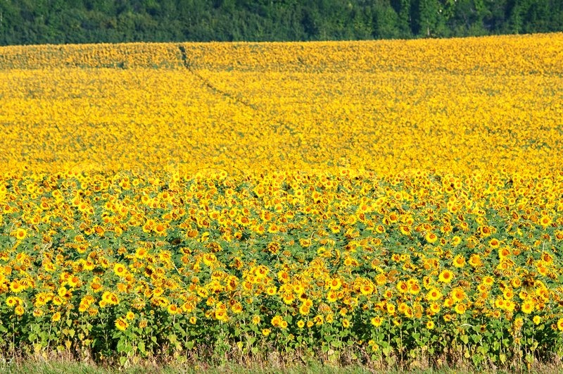 Field outdoor trees agriculture flowers view day horizontal field outdoor trees agriculture flowers view day horizontal yellow urban sunflowers full flora colorbeautiful nature environment landscape mightylinksfo
