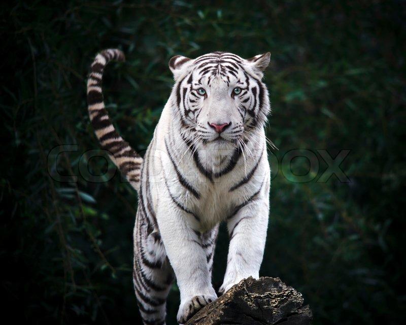 Frygtelige blik hvid tiger | stock foto