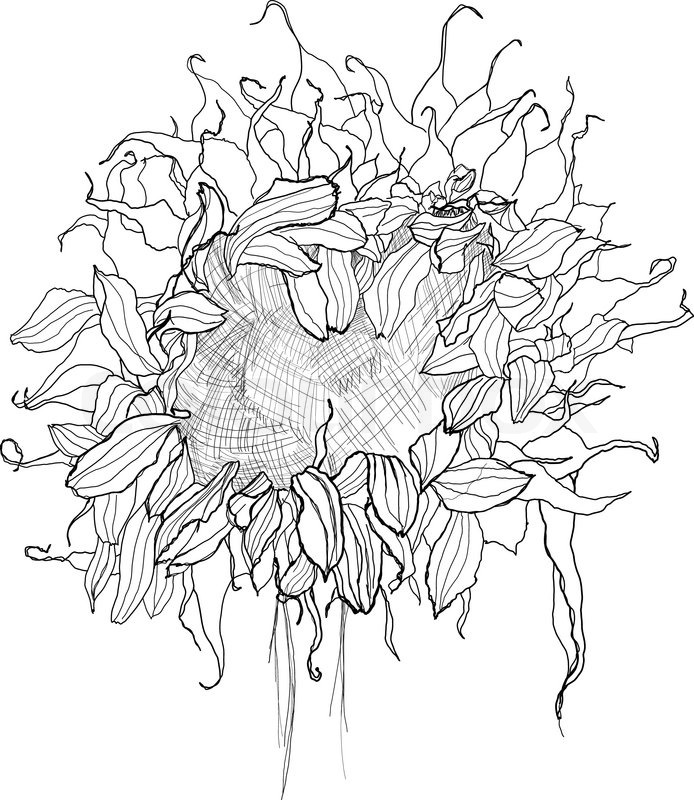 Pencil Drawing Sunflower Sketch Stock Vector Colourbox
