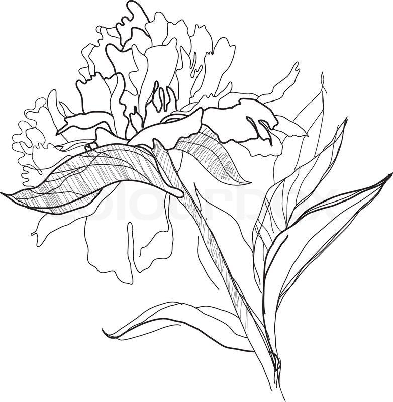 pfingstrose zeichnen blumen zeichnung, zeichnen pfingstrose   vektorgrafik   colourbox, Design ideen