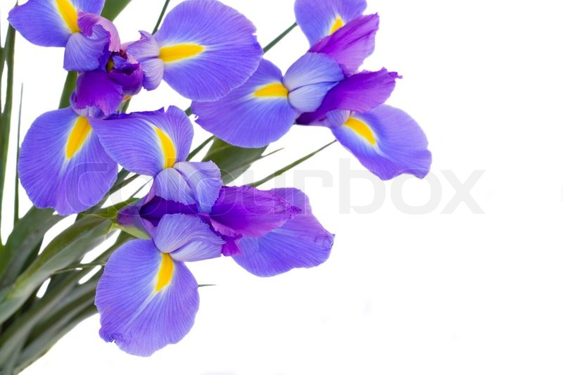 blue irises flowers  stock photo  colourbox, Beautiful flower