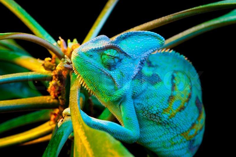One Yemen Chameleon Stock Photo Colourbox
