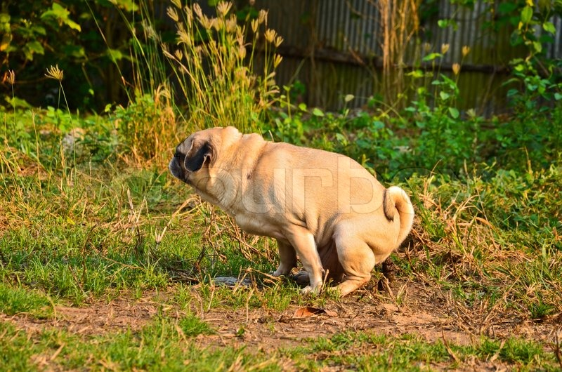 The Worlds Fattest Pug: Little Fat Pug