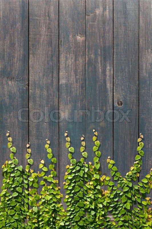 Climbing Ficus Pumila On Wood Wall Stock Photo Colourbox