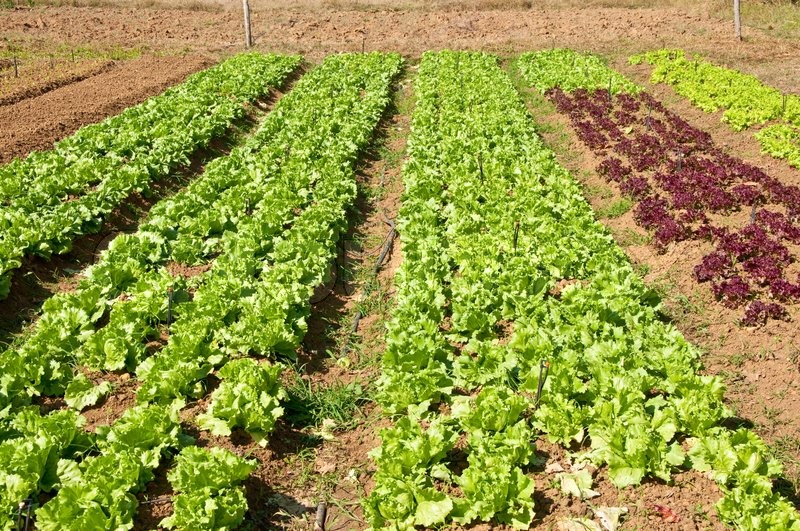 The Rows of vegetable plants growing on a farm with blue sky and a