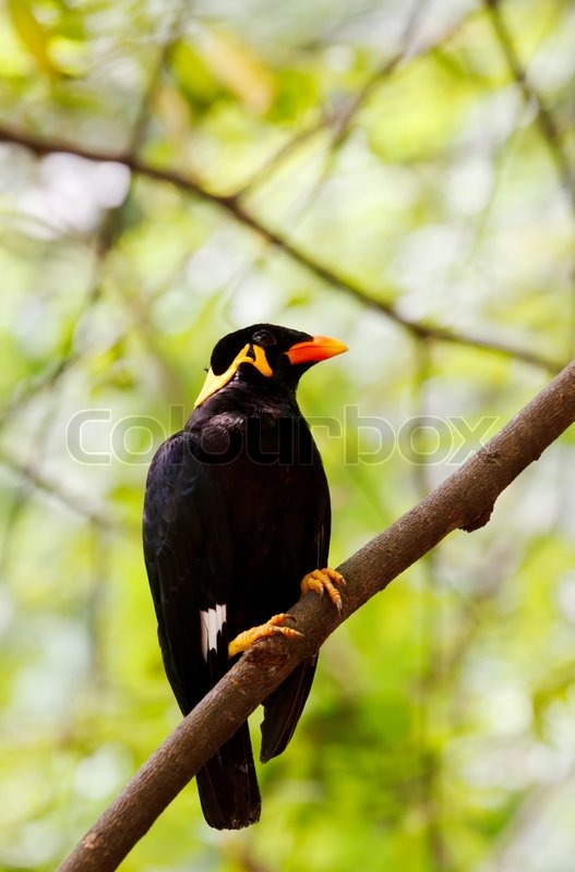 Stock image of 'Portrait of a hill mynah'
