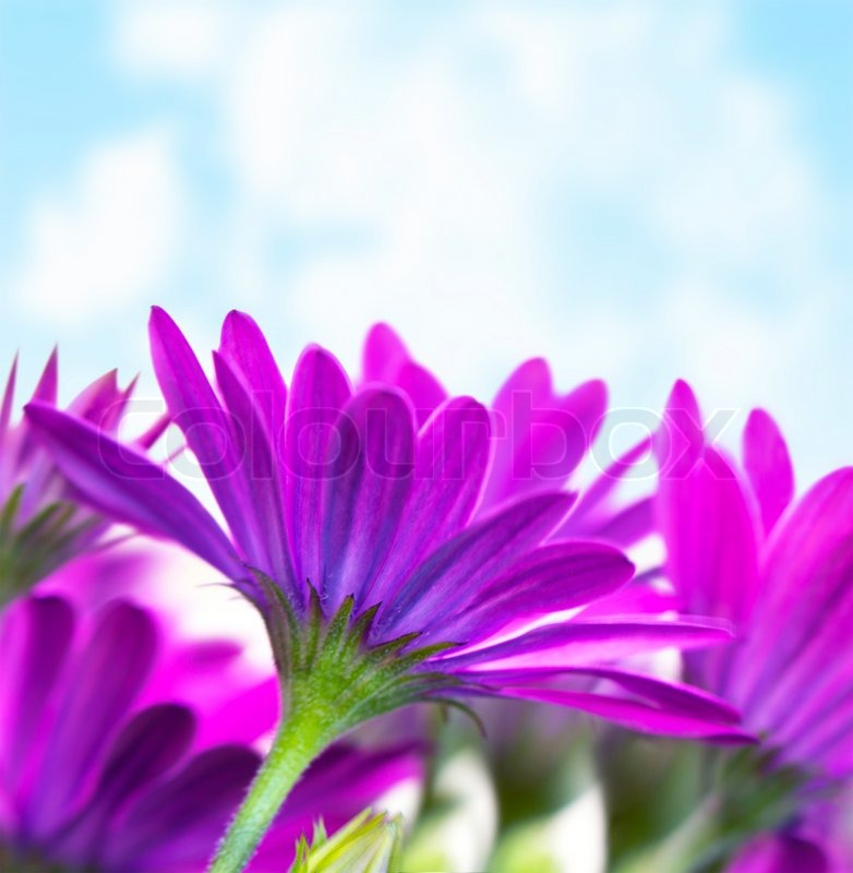 Photo of fresh purple flowers over blue sky background florescence photo of fresh purple flowers over blue sky background florescence border violet daisy flower floral glade springtime outdoors head of pink wildflower mightylinksfo