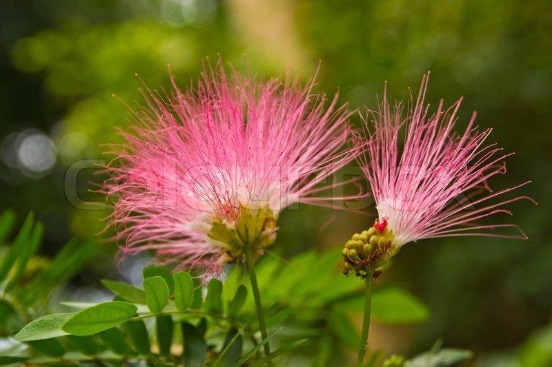 Pink wild flowers at chonburi thailand stock photo colourbox mightylinksfo