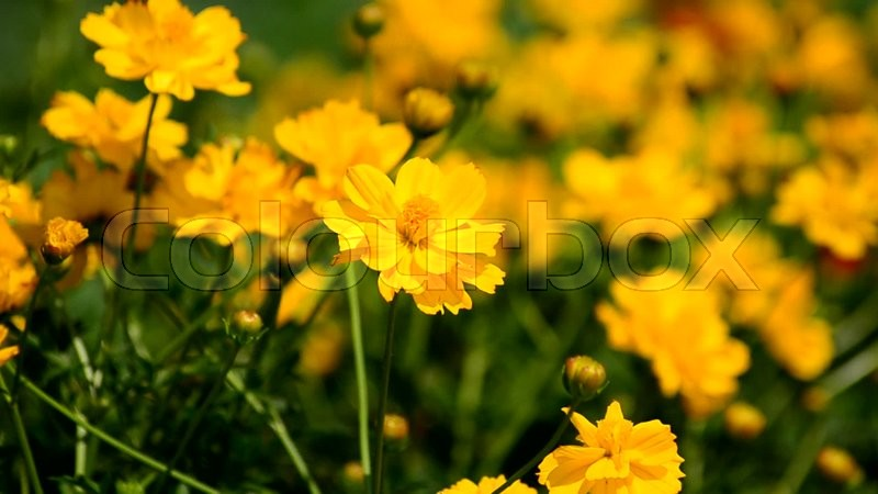 Yellow cosmos flowers swaying in the breeze stock video colourbox yellow cosmos flowers swaying in the breeze video mightylinksfo