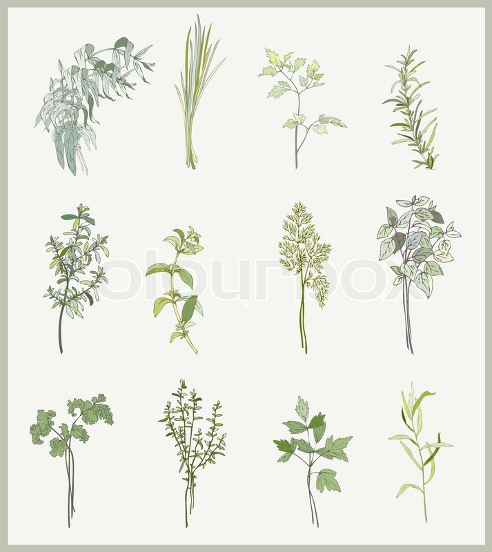 Spicy herbs collection of fresh herbs illustration spicy herbs stock vector colourbox - Tips planting herbs lovage parsley dill ...