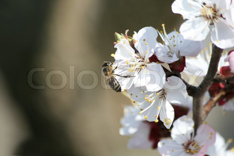 Stock image of 'bee on white flower of apricon tree '
