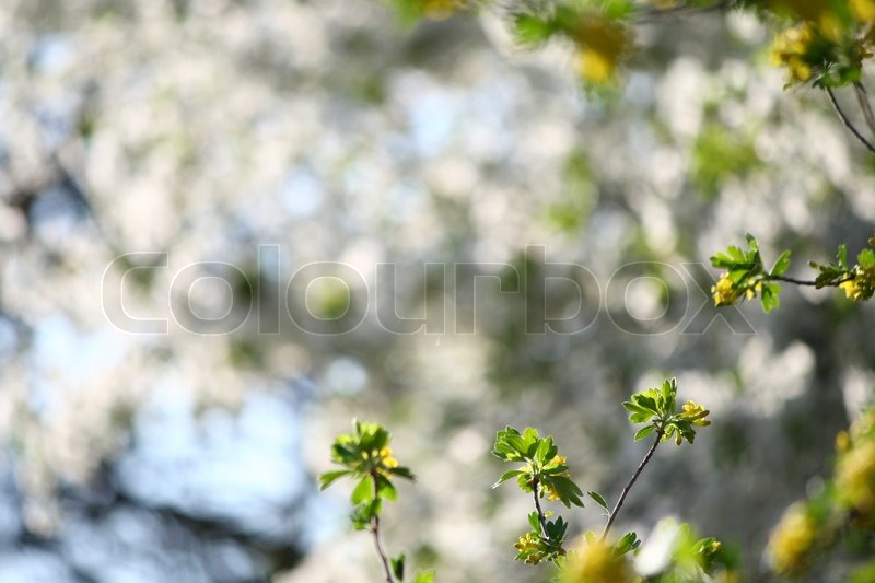 Stock image of 'Currant flowers'
