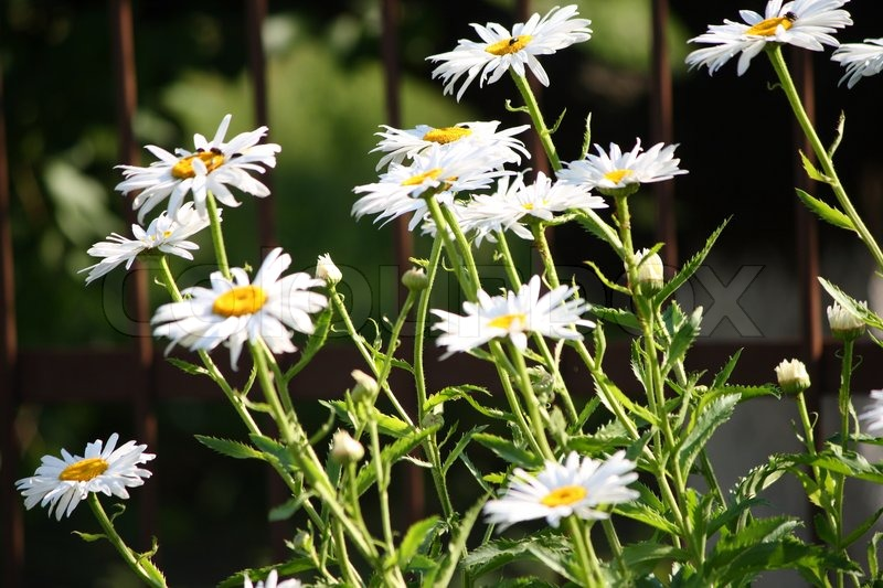 Stock image of 'White daisies'