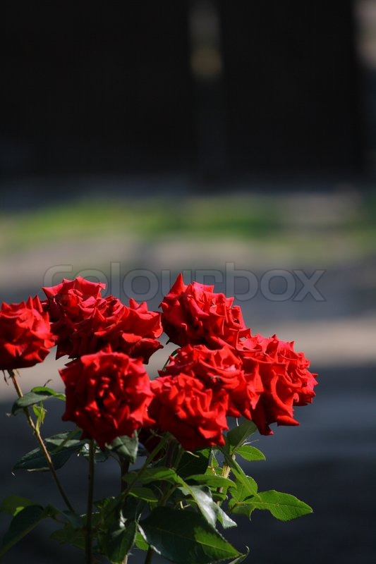 Stock image of 'Red roses'
