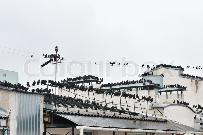 Stock image of 'Invasion of starlings'